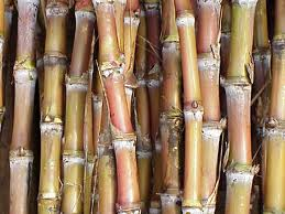 Stalks of sugar cane which is a type of grass native to India before they've been processed into sugar crystals.