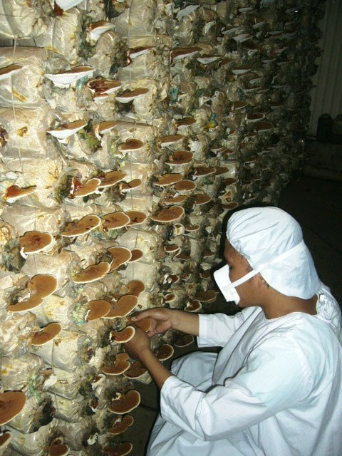 A man in scrubs and a mask harvests medicinal mushroms from a growing wall.
