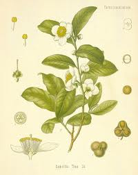 A colored drawing of camelia sinensis shows the differnt parts of the plant.