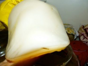 A thick creamy white Kombucha SCOBY culture is held close to the camera.