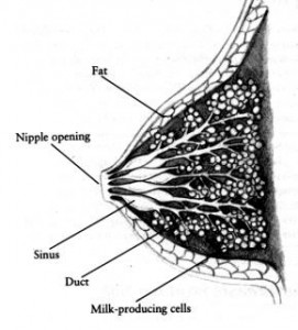 cross section of lactating breast