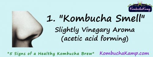 smell is one way to determine a healthy SCOBY or Kombucha brew