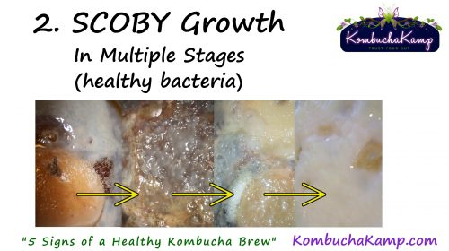 healthy SCOBY growth is demonstrated