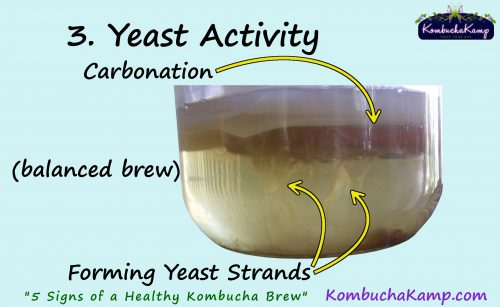 Below a healthy SCOBY will appear tendrils of Kombucha yeast