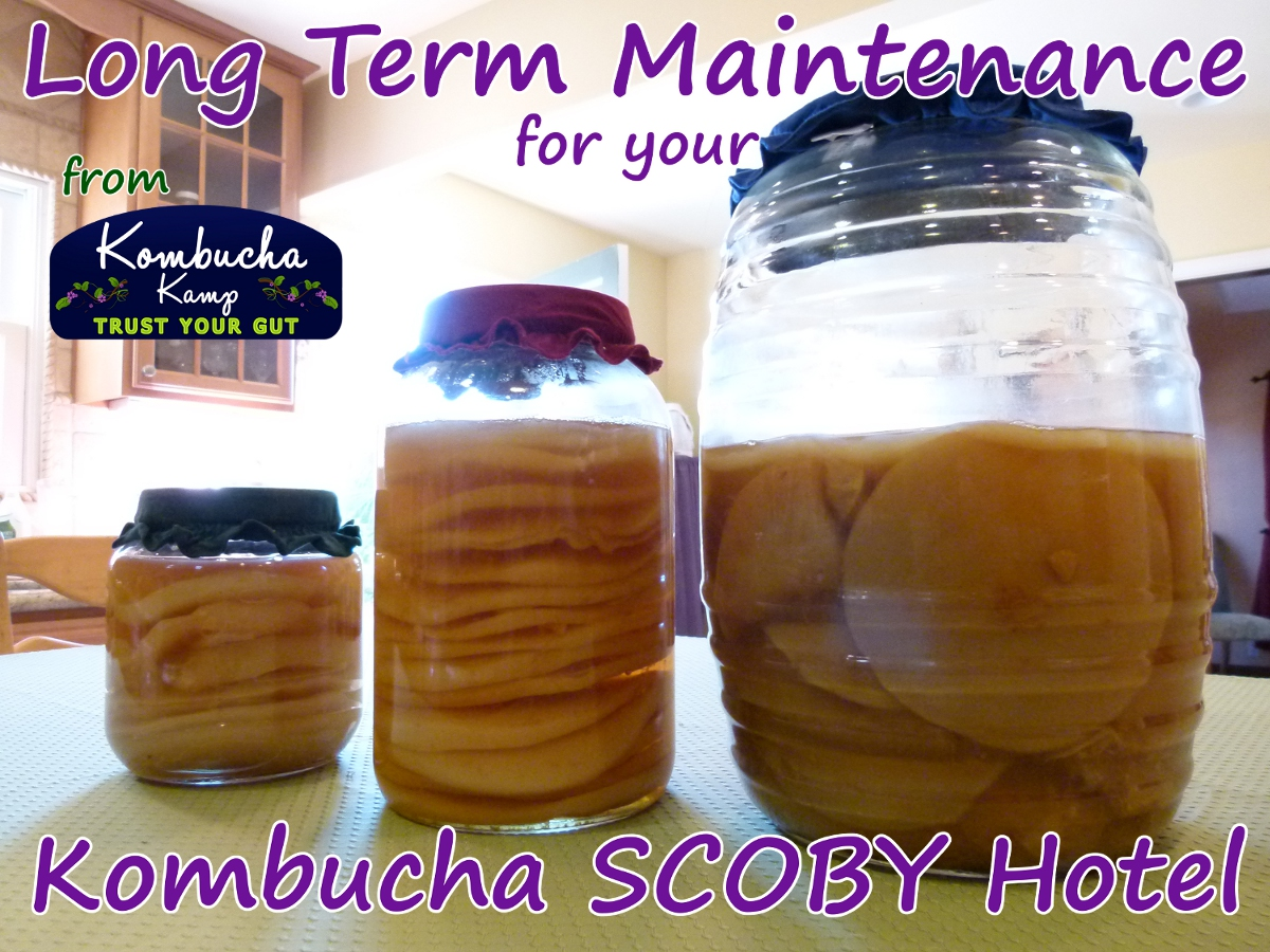 Long Term Maintenance SCOBY Hotel from Kombucha Kamp