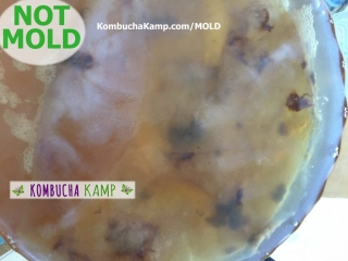 Yeast spots underneath a thin new SCOBY growth as shown from above the Kombucha brew are not Kombucha mold
