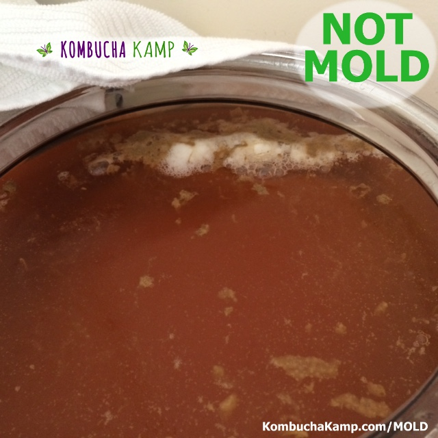 A new SCOBY just starts to form on a Kombucha brew with born yeast and white bubbles but No Mold