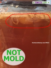 Tan yeast strands form on the underside of a fresh Kombucha Culture forming at the top of a brew