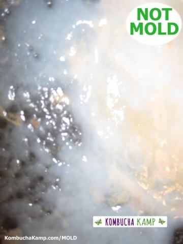 Early Kombucha SCOBY Growth in a Kombucha Barrel Brew NOT MOLD ON KOMBUCHA