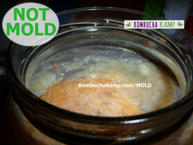 Old orange colored Kombucha SCOBY with new SCOBY forming around the edges and over the top not Kombucha mold