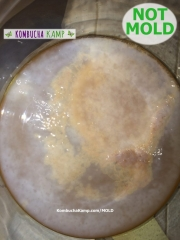 Thin new Kombucha SCOBY Growth With yellow Bubbles and brown yeast areas Under the Surface but Not Kombucha Mold