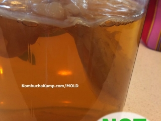 New Kombucha SCOBY Growth with lumpy new white sections and bubbles forming but no Mold on Kombucha