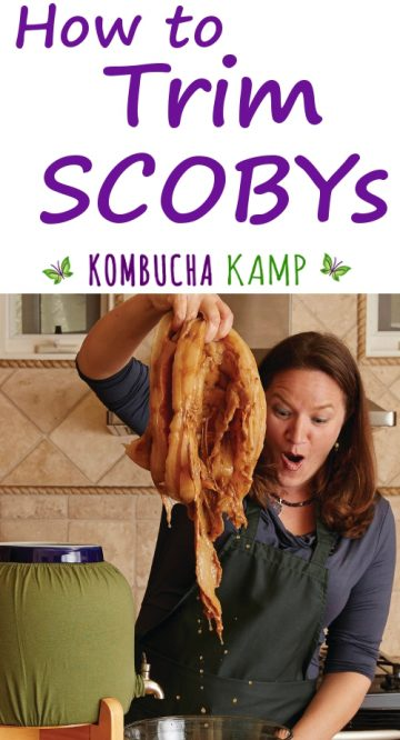 Learn How To Trim SCOBYs with Kombucha Kamp