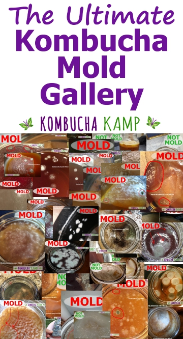 Kombucha mold gallery with photos
